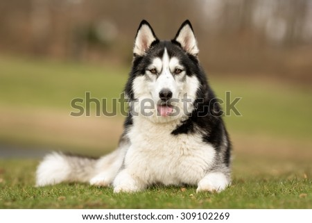 A purebred Siberian Husky dog without leash outdoors in the nature on a sunny day. #309102269