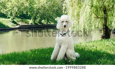 A purebred standard white poodle dog sits on a green lawn and waits for the training command. Impeccable grooming of the fluffy fur of the king poodle dog. Large domestic white dog with a collar.