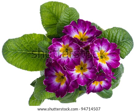 A purple and white flowered primrose isolated on white