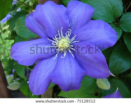A purple clematis flower in full bloom