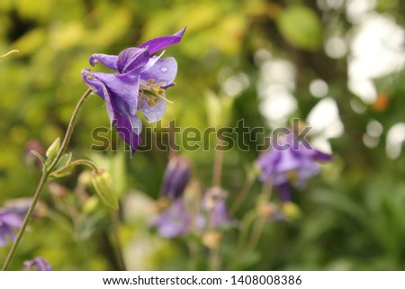 a purple colubine flower closeup with a green background closeup in the garden in spring