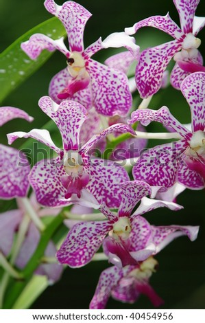 Singapore Orchids Picture on Purple Orchid In Singapore Botanic Garden Stock Photo 40454956