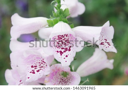 a purple purple foxglove flower