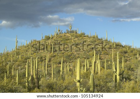 A pyramid of giant Sonoran saguaro cactus and white puffy clouds at sunset in Saguaro National Park West, Tucson, AZ