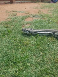A python slithering on the grass.