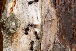 A queen ant is surrounded by four black ants on a tree trunk