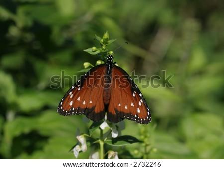 A Queen Butterfly
