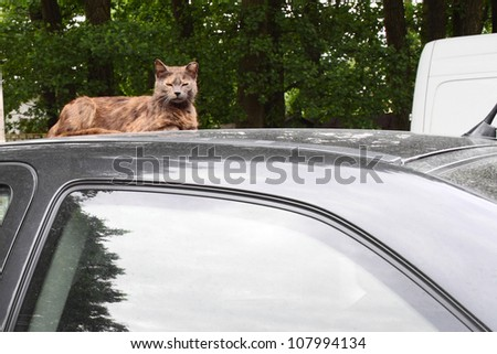A queen of the yard. Haughty long-haired cat is lying on the top of car.