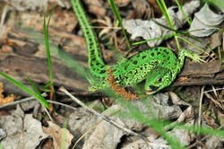 A quick lizard, or a nimble lizard, or an ordinary lizard (lat. Lacerta agilis) is a species of lizards from the family of real lizards.  Lizard in the natural habitat during the mating season.