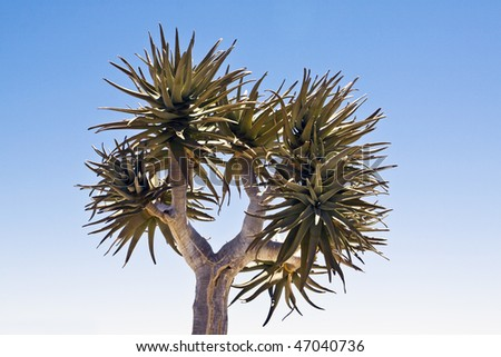 A quiver tree Aloe dichotoma in the Northern Cape Province of South Africa
