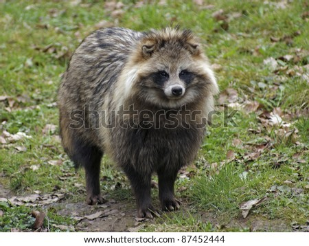 a Raccoon Dog standing in natural back