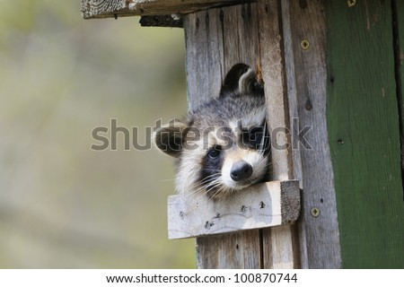 A  raccoon is sitting in a den in  tree and looking.