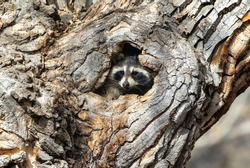 A Raccoon peers out of a hole in a large tree in the daytime.
