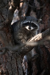 A raccoon playing on trees.