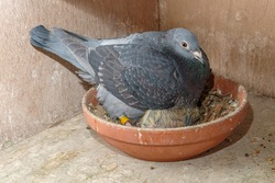 A racing pigeon on her nest keeping her seven days old chick warm on the pigeon loft