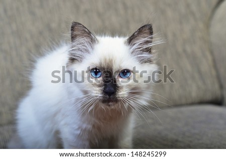 A rag doll kitten looking facing the camera