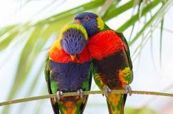 a rainbow lorikeet grooming another lorikeet