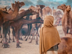 A Rajasthani camel trader wearing traditional clothing, stands with his back to the camera, with his herd of dromedary camels in the background. At the Pushkar Camel Fair, India.