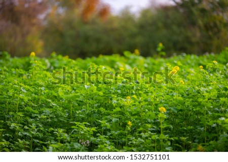 A rape  field that grows slowly and is not yet in full bloom at the beginning of autumn ストックフォト ©