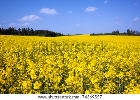 A rapeseed field in May in a Thuringian landscape