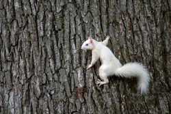 A rare albino white squirrel clinging to the side of a tree in a park in Olney, Illinois, one of the few community with a population of white squirrels