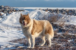 A rare Canadian Eskimo dog seen on the shores of icy Hudson Bay in northern Manitoba, Canada.