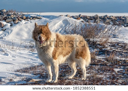 A rare Canadian Eskimo dog seen on the shores of icy Hudson Bay in northern Manitoba, Canada.  Photo stock ©