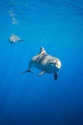 A rare encounter snorkeling with a pod of bottlenose dolphins off the coast of kailua kona, big island, Hawaii.