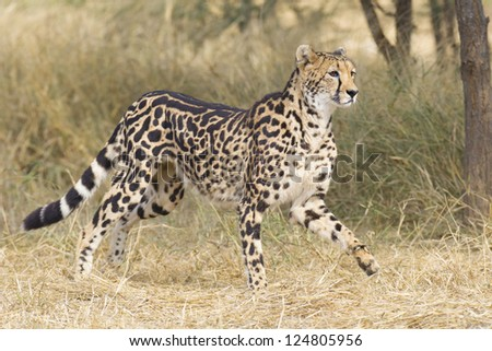 A rare female King Cheetah (Acinonyx jubatus) in South Africa, running through the bushveld