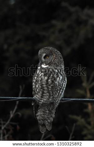 a rare Great Gray Owl dusk at dusk in winter  #1310325892