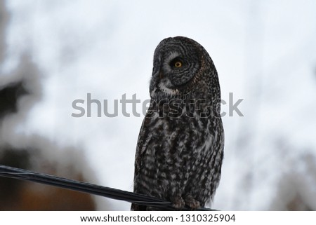 a rare Great Gray Owl dusk at dusk in winter  #1310325904