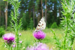 A rare, large and beautiful Apollo butterfly pollinates a Thistle flower. Summer in Russia, selective focus