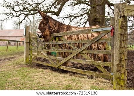 A rare Poitou donkey (Equus africanus asinus)  in Suffolk, England