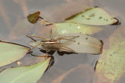 A rare Raft Spider (Dolomedes fimbriatus) perching on a leaf in a pond hunting for food.