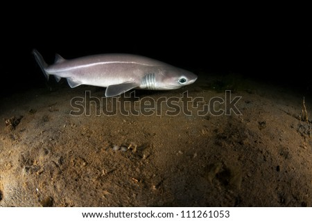 A rare shot of a six gill shark pup 105 ft below the surface during a night dive.