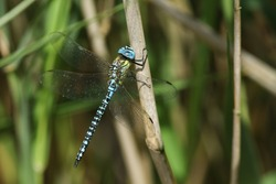A rare Southern Migrant Hawker Dragonfly, Aeshna affinis, perching on a reed in the UK.