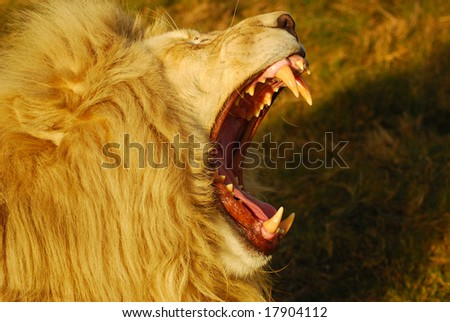 stock photo : A rare white lion male head portrait roaring in a game park in