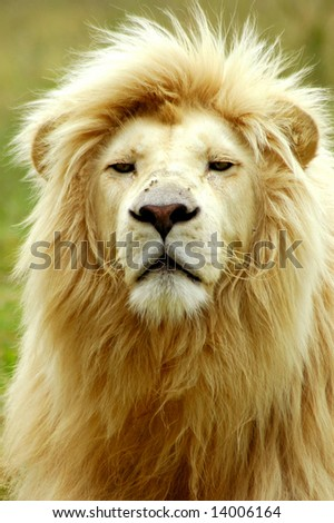 stock photo : A rare white lion male head portrait watching other lions in a