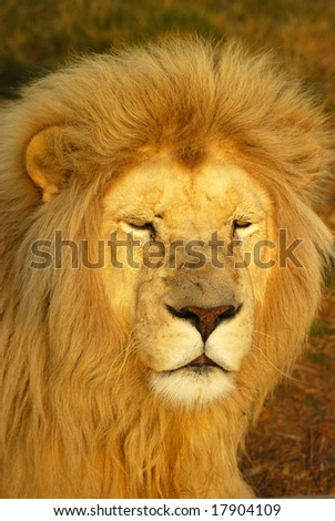 A rare white lion male head portrait watching other lions in a game park in South Africa