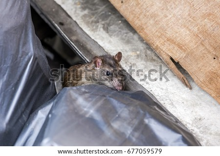 A rat behind the garbage bag. selective focus