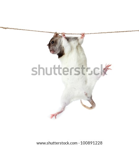 a rat crawling on a rope. rat clutching at rope on white background
