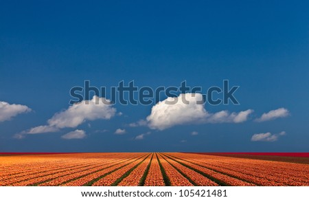 A ray of sunlight strikes over a colorful field of tulips. Panoramic view