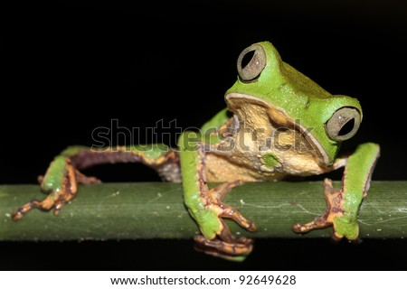 A Razor-backed Monkey Treefrog (Phyllomedusa vaillanti) in the Peruvian Amazon