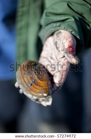 A Razor clam held in a sandy, bloodied hand in Anchor Point Alaska.
