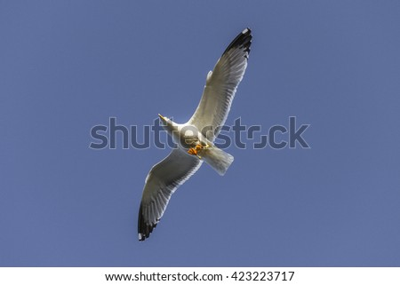 A real Mediterranean gull (Larus michahellis) flying silhouetted against the blue sky, on the south coast of Sardinia (Cagliari, Sardinia, Italy) in a spring day.