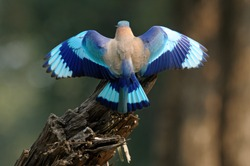 A rear-view of an Indian Roller with its wings spread.