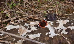 A red Admiral butterfly with its wings closed whilst resting on a limestone rock