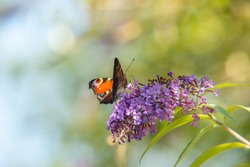a red admiral enjoying the sun on a gorgues purple flower.