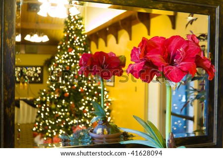 A red Amaryllis flower in front of a framed mirror, with a reflection of itself and a large lit christmas tree behind.