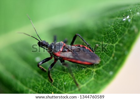 A red and black kissing bug from Missouri.